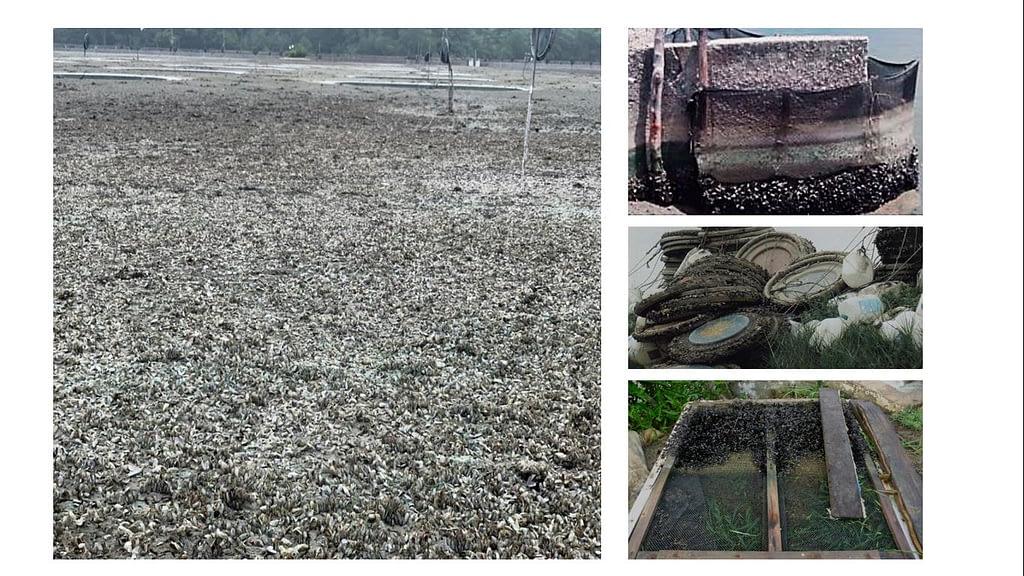Figura 1. Luego de la cosecha se observa el fondo de un estanque de cultivo y todo tipo de sustrato del estanque de cultivo casi totalmente colonizado por poblaciones de mejillones.