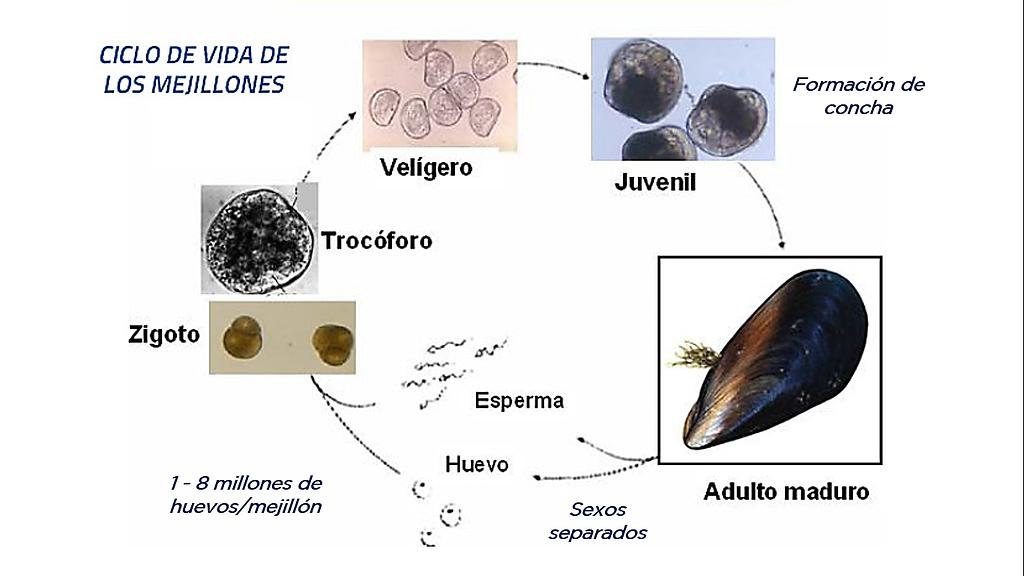 Ciclo de vida de los moluscos