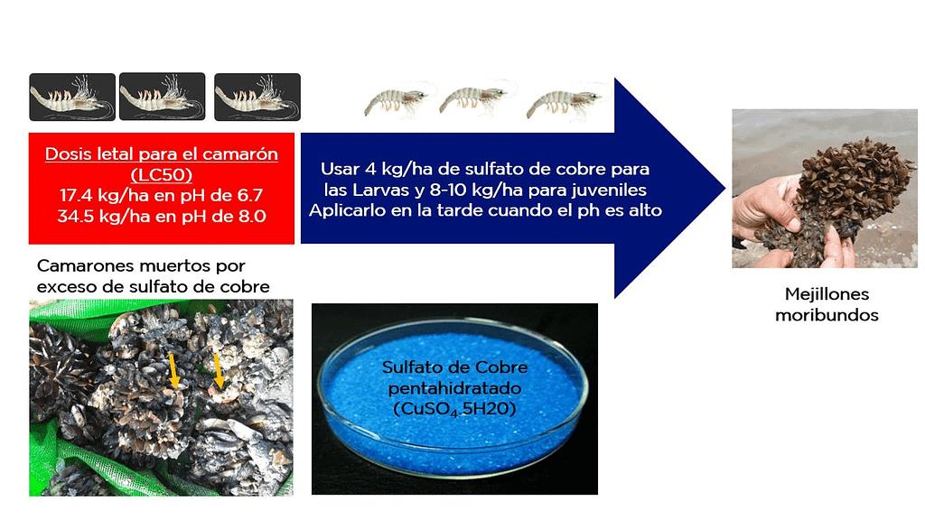 altas dosis de sulfato de cobre en el agua pueden ser tóxicas y causar mortalidad al camarón cuando el pH está bajo