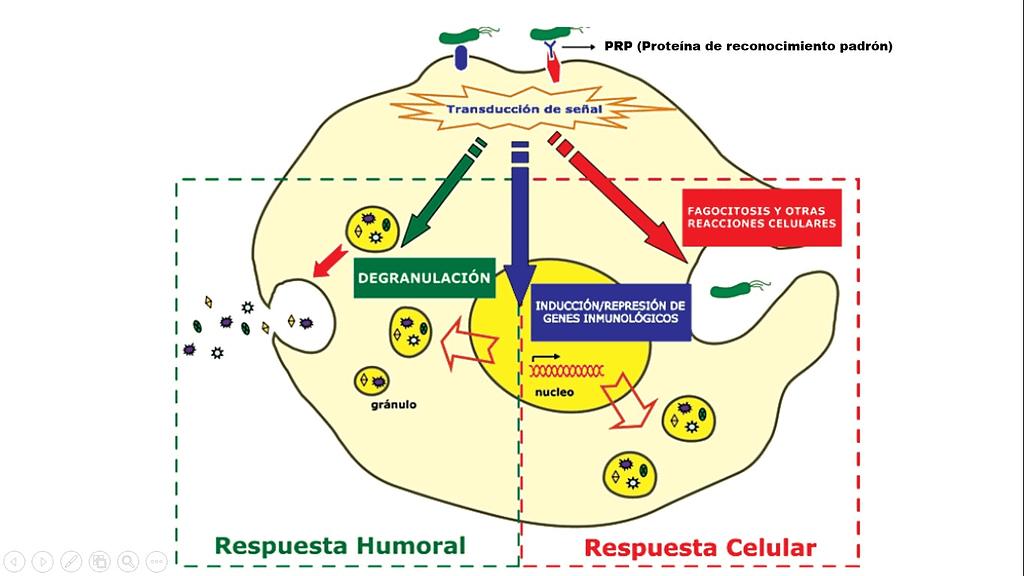 Respuestas inmunológicas de tipo Humoral y Celular inducidas en los hemocitos