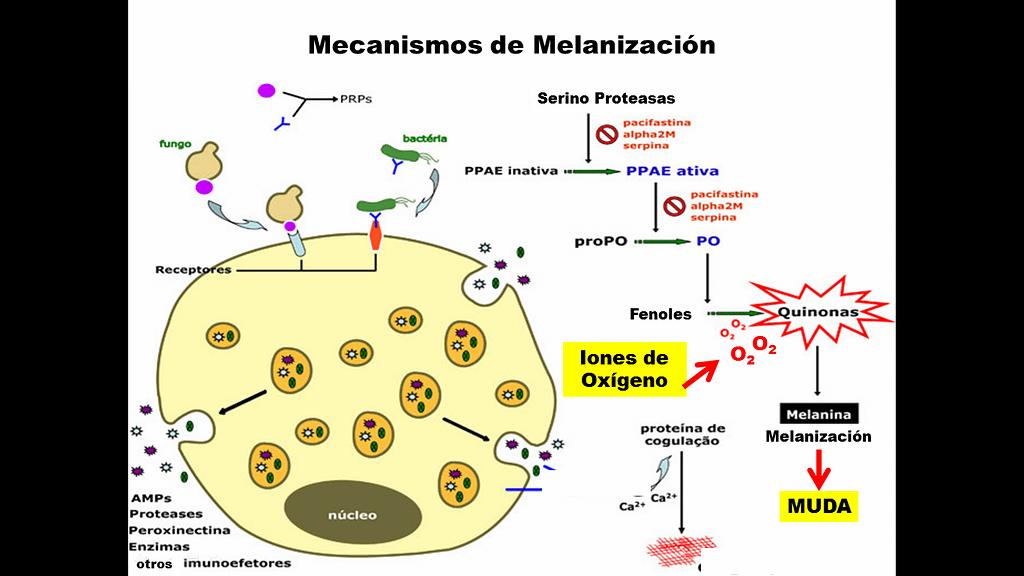 Esquema del mecanismo de Melanización