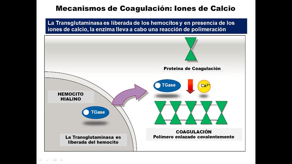 Mecanismo de coagulación con la intervención de los iones de Calcio y la enzima Transglutaminasa