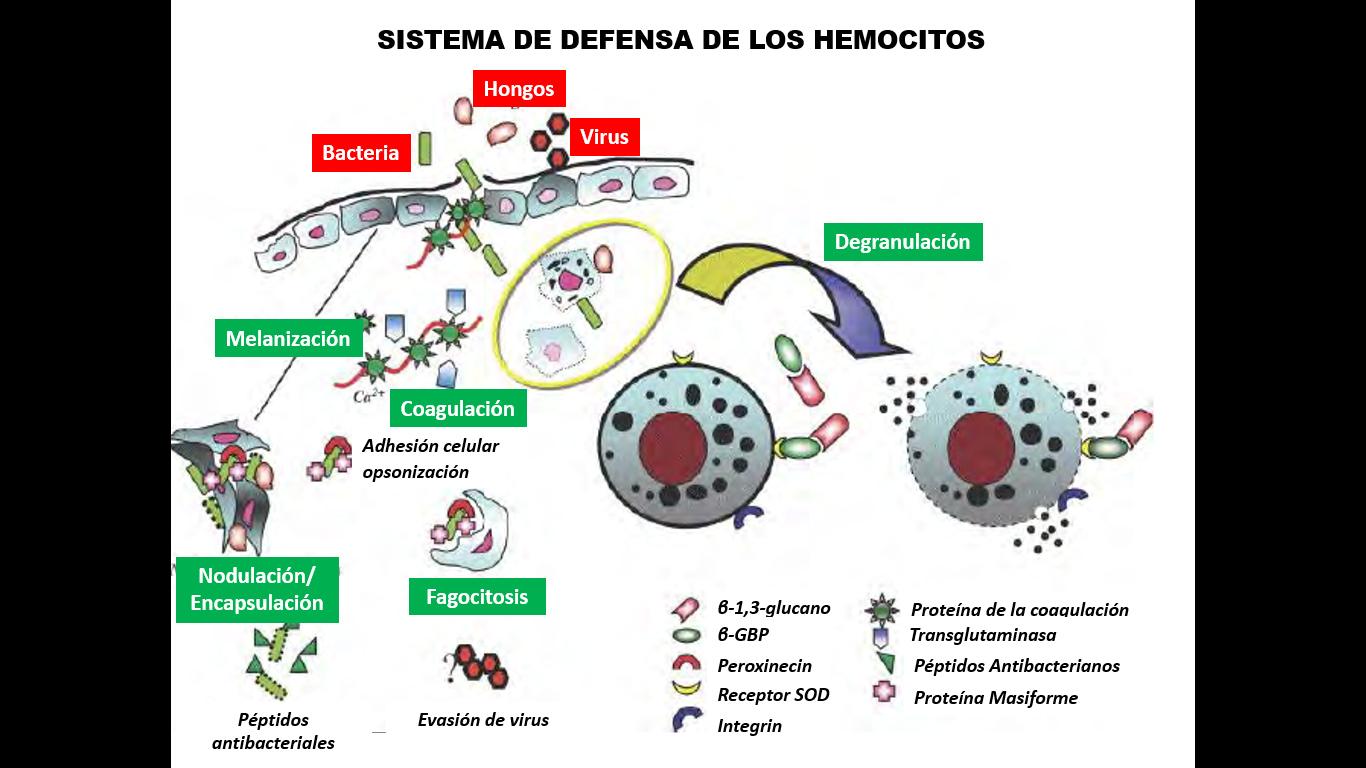 Ilustración de los mecanismos de una reacción inmune en los que intervienen los hemocitos