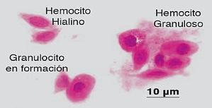 Tipos de hemocitos